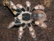 Паук-птицеед Nhandu coloratovillosus - около 1, 5-1, 8 см по телу