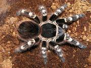 Паук-птицеед Acanthoscurria geniculata - молодь 1-1, 5 см по телу