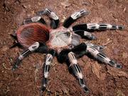 Паук птицеед Nhandu chromatus - молодь 1-1, 5 см по телу