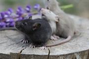 Крысята из питомника Iron Rat!