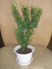 молодой мирт от цветущего растения Миртовое дерево – старинное комнатн