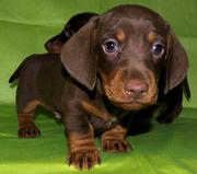 ТАКСЫ плюшевые щенки- ШОКОЛАДНЫЕ мальчики и девочка