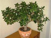 Денежное дерево,  $,  Толстянка,  Крассула,  молодые укорененные отростки