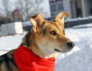 В ДАР! ДЖЕССИКА-молодая собака. Стерилизована,  привита