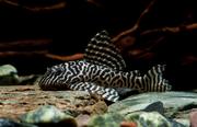 Гипанциструс тигровый королевский,  L-066 (Hypancistrus sp. L-066)