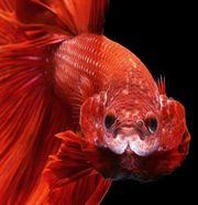 Петушок рыбка.