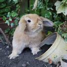 навоз от кролика
