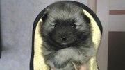 Продажа щенков вольфшпица(кеесхонда)