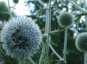 Семена мордовника шароголового