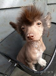 Шоколадный щенок китайской хохлатой собаки