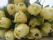 Тюльпан срезка к 8 марта оптом