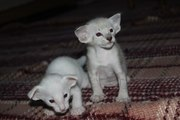 Предлагаются Сиамские и Ориентальные котята.