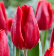 Принимаем предзаказы на опт тюльпанов к 8 Марта