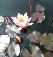 Нимфея(водяная лилия)