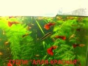 КРАСНАЯ --- АЛАЯ ---- гуппи ---- чистая линия. аквариумные РЫБЫ