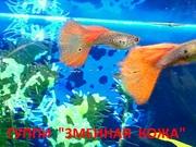ГУППИ Змеиная кожа красная -- чистая линия... - Рыбки аквариумные
