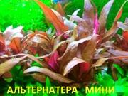 Альтернатера мини. НАБОРЫ растен для запуска акваса. Почтой отправлю=