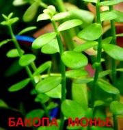 Бакопа монье. НАБОРЫ растений для запуска акваса. ПОЧТОЙ отправлю----