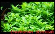 Стаурогин зеленый..НАБОРЫ растени для запуска акваса. ПОЧТОЙ отправ