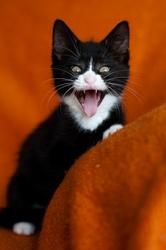 Оливия - котёнок краса