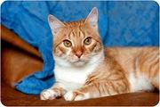 Рыж - брутальный кот
