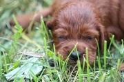 Ирландский красный сеттер, высокопородные щенки,  продам