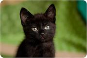 Фрау Мяу – маленькое игривое счастье,  котенок в дар!.