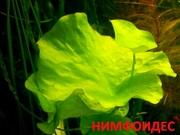 Нимфоидес. Наборы растений для запуска и перезапуска аквариума. Почтой