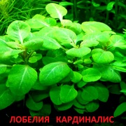 Лобелия кардиналис. Наборы растений для запуска и перезапуска аквариум