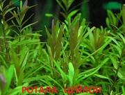 Ротала цейлон. Наборы растений для запуска и перезапуска аквариума. По