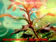 Прозерпинака палюстрис. Наборы растений для запуска и перезапуска аква