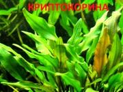 Криптокорина родственная. Наборы растений для запуска и перезапуска ак