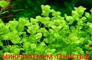 Микронтенум тенистый. Наборы растений для запуска и перезапуска аквари