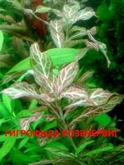 Гигрофила розенервиг. Наборы растений для запуска и перезапуска