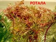 Ротала. Наборы растений для запуска и перезапуска. Почтой