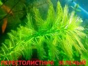 Перестолистник зеленый. Наборы растений для запуска и перезапуска-