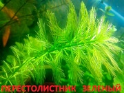 Перестолистник зеленый. Наборы растений для запуска и перезапуска0