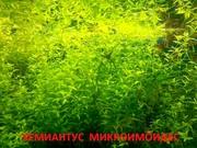 Хемиантус микроимоидес. наборы для запуска акваса. Почтой отправлю.