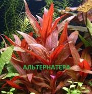 Альтернатера рейника. Наборы растений для запуска аквариума . Почтой