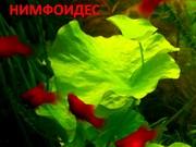 Нимфоидес. Наборы растений для запуска и перезапуска аквариума . Почто