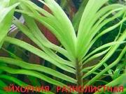 Эйхорния разнолистная. Наборы растений для запуска аквариума . Почтой