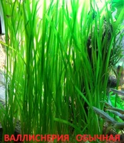 Валиснерия обычная. Наборы растений для запуска аквариума . Почтой