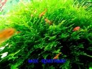 Мох крисмас. НАБОРЫ растений для запуска аквариума. ПОЧТОЙ отправлю