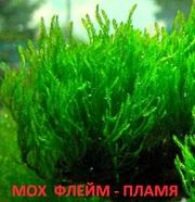 Мох флейм. НАБОРЫ растений для запуска аквариума. ПОЧТОЙ отправлю