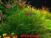 Бликса японская. Наборы растений для запуска аквариума . Почтой отправ