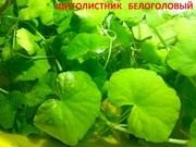 Щитолистник белоголовый. НАБОРЫ растений для запуска аквариума. ПОЧТОЙ