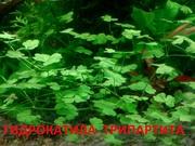 Гидрокатила трипартита. НАБОРЫ растений для запуска аквариума. ПОЧТОЙ