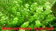 Аквариумные растения. Микронтенум тенистый. Наборы для запуска. ПОЧТОЙ