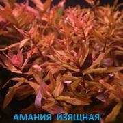 Амания изящная. наборы растений для запуска. Почтой отправлю1