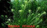 Маяка речная. наборы растений для запуска аквариума. Почтой отправлю1